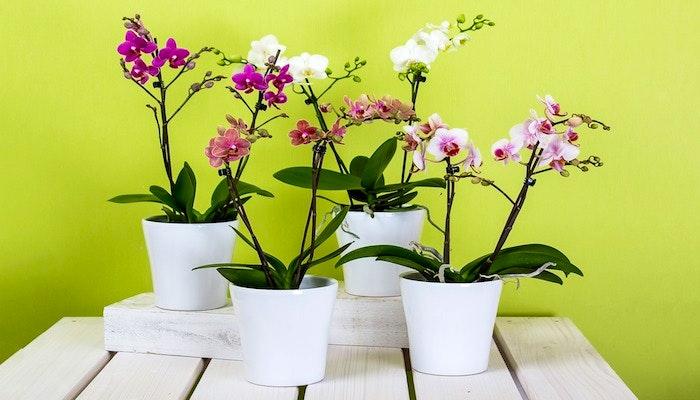 Orchidee Bedeutung